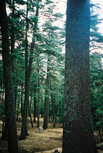 (57) Floresta dos Cedros - Azrou